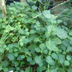Melaleuca_alternifolia_(DITSL)