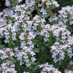 Thymus_vulgaris0