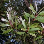 Melaleuca_quinquenervia_(leaves)