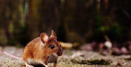 Olio essenziale di menta piperita per tenere lontani topi e ragni